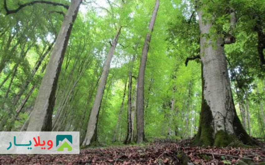 عکس ها و راهنمای سفر به جنگل های راش سوادکوه مازندران
